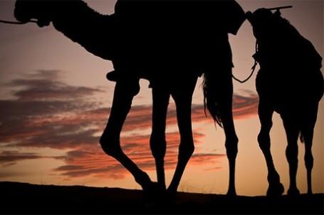Camello-2